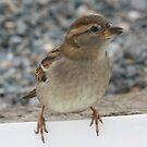 Little Sparrow by Sean Farragher