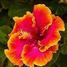 Hawaiian Multi-colored Hibiscus from Kauai by HealthyTrekking
