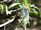 Broad-billed Hummingbird ~ Male II by Kimberly Chadwick