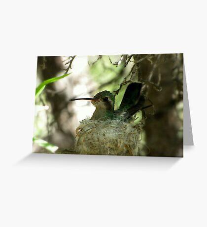 Broad-billed Hummingbird ~ Nesting Female Greeting Card