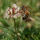 Honey Bee on Clover by weallareone