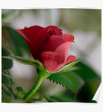 A Red Rose Poster
