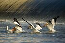 Pelicans Three by EchoNorth