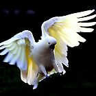 Sulphur Crested in Flight II by Tom Newman