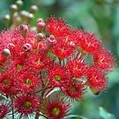 Red Flowering Gum by Cloudlingpics