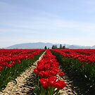 Looking Down Rows of Red Tulips - Skagit Valley, WA, Spring 2004 by nicholasclewis