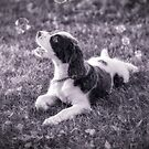 My Theodore ~The English Springer Spaniel~ Bubbles BW by Gypsykiss