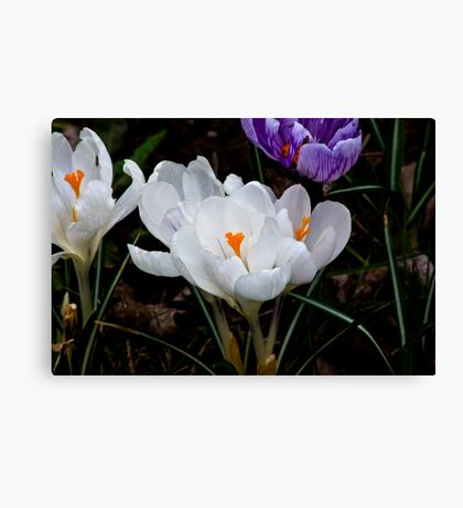 Crocus #2 Canvas Print