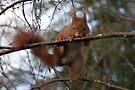 Parde Deux ....  (Red Squirrel) by Foxfire