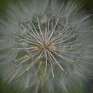 Dandelion by harmoniccontent