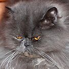 blue persian by marasdaughter