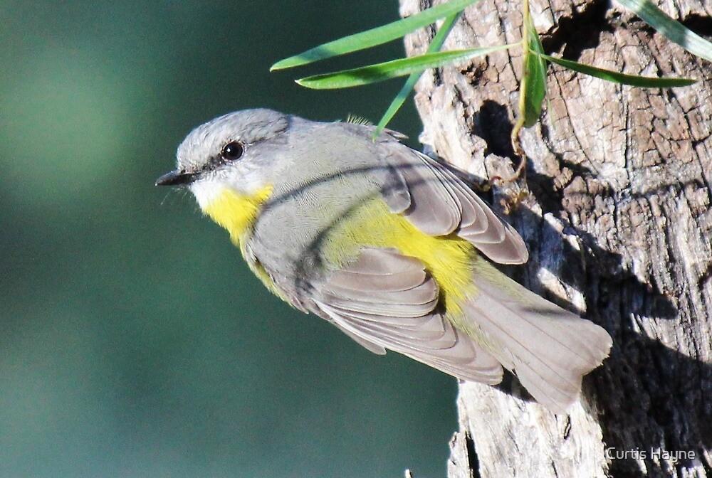 Eastern Yellow Robin by Curtis Hayne