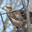 Juvenile Bald Eagle by Dave & Trena Puckett