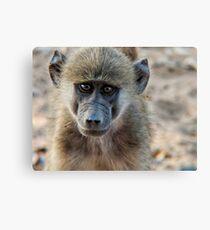 Vervet monkey portrait Canvas Print