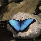 Butterfly black and blue by Dale Lockridge