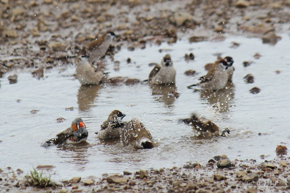 Zebra and Plum-headed Finches by Curtis Hayne