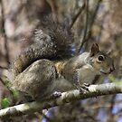 Florida Squirrel by Deborah  Benoit