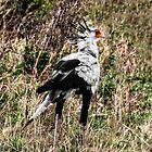 The Quirky Secretary Bird by Kay Brewer