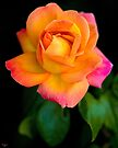 A Beautiful Arundel Rose by Chris Lord