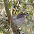 Lovely Songbird by Deborah  Benoit