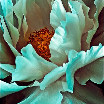 White Peony Petals by ChrisLord