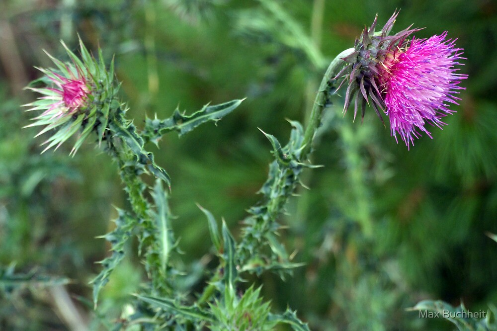 """The Common but Beautiful """"Musk Thistle""""  by Max Buchheit"""