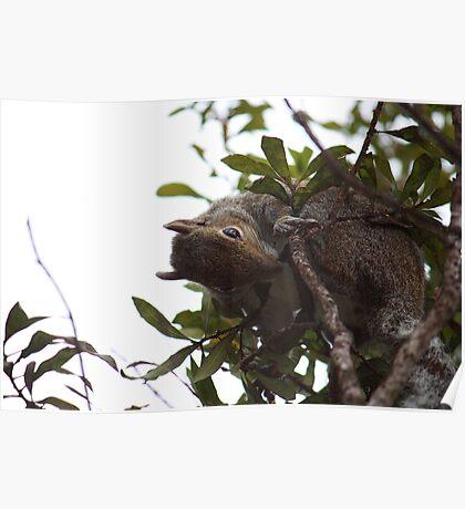 Eastern Grey Squirrel  III Poster