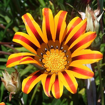 Orange and Yellow Striped Daisy by ycaporn