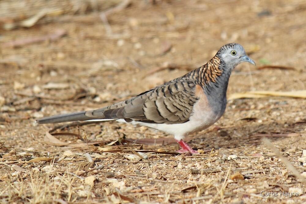Bar-shouldered Dove by Curtis Hayne