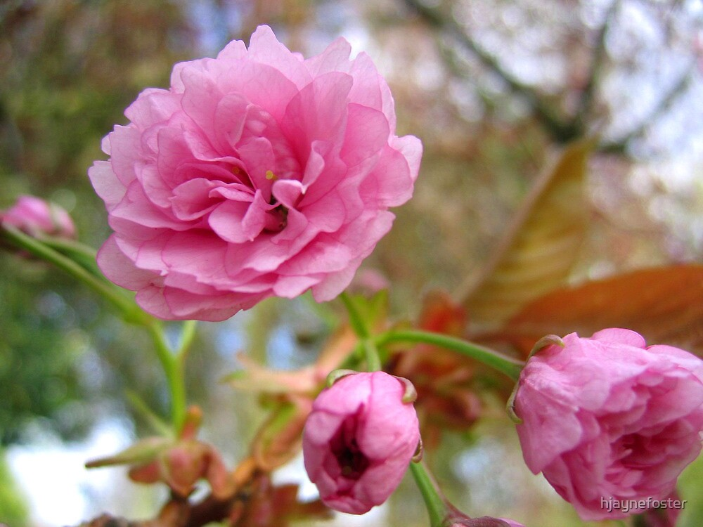 Delicate soft pink blossom by hjaynefoster