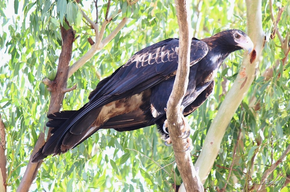 Wedge-tailed Eagle by Curtis Hayne
