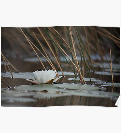 Fragrant Water Lily Poster