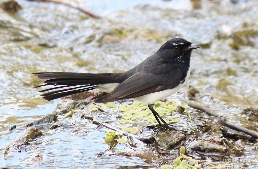 Willie Wagtail by Curtis Hayne