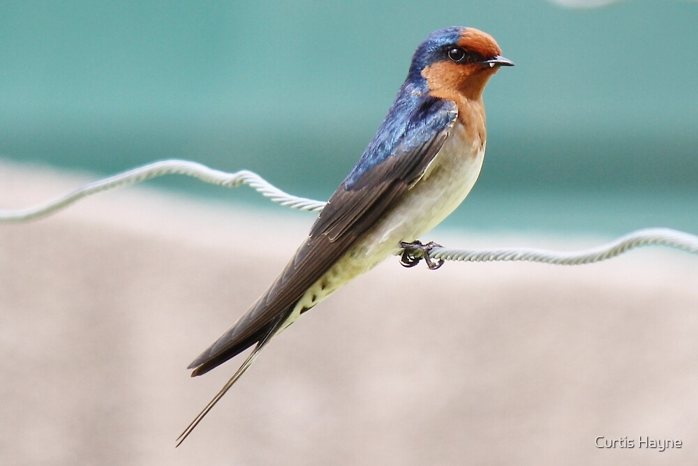 Welcome Swallow by Curtis Hayne