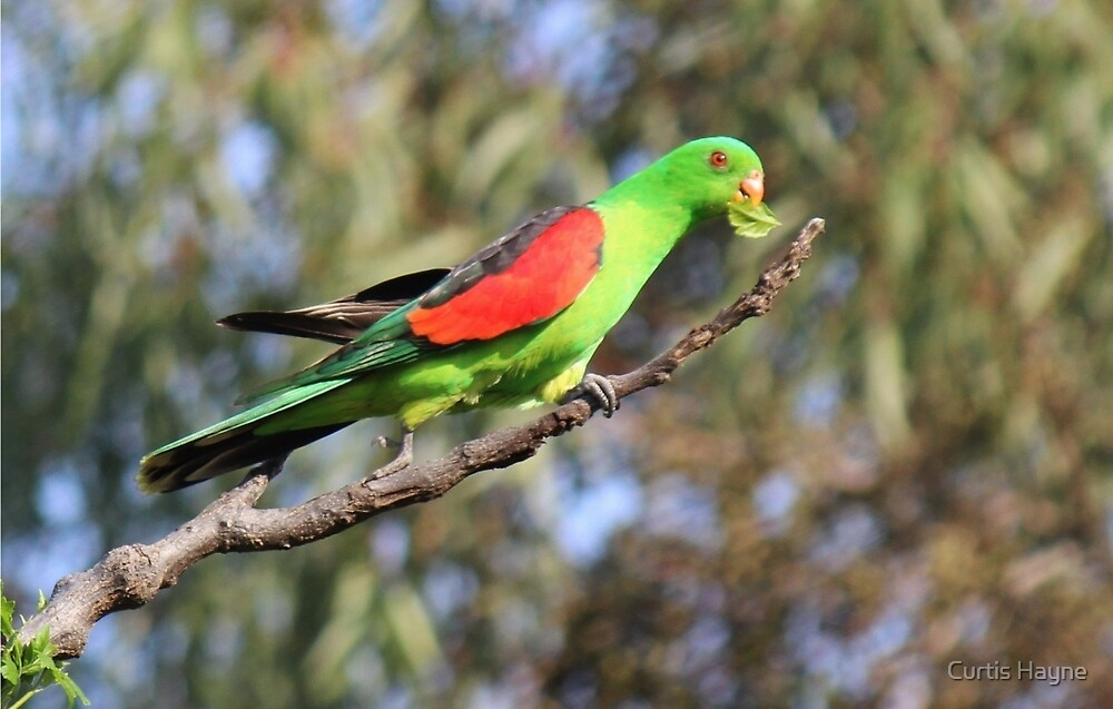 Red-winged Parrot by Curtis Hayne