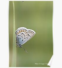 Common Blue, polyommatus icarus Poster