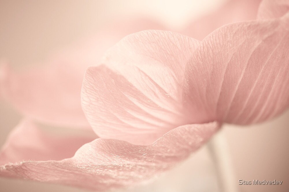Anemone in Valentine Day by Stas Medvedev