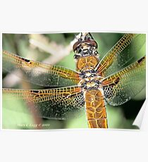 Four-spotted Chaser wings, Libellula quadrimaculata Poster