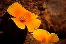 Mexican Poppy by Vicki Pelham