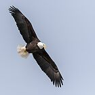 Bald Eagle 2019-8 by Thomas Young