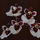 Tolumnia Snowfairy- An Equitant Oncidium Orchid by Pauline Catling