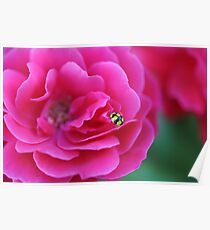 Yellow and Black lady beetle on pink flower Poster