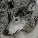 Unperturbed Timber Wolf by DigitallyStill