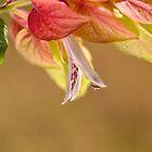 Garnelen-Pflanzenblüte von Joy Watson