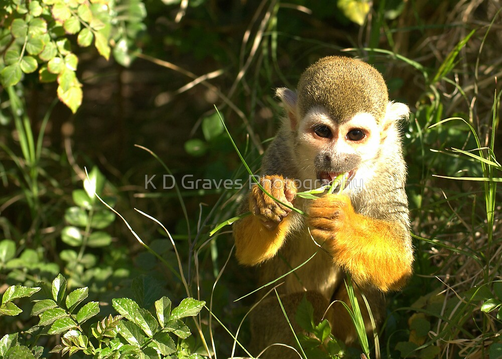 Spider Monkey on Monkey Island by K D Graves Photography