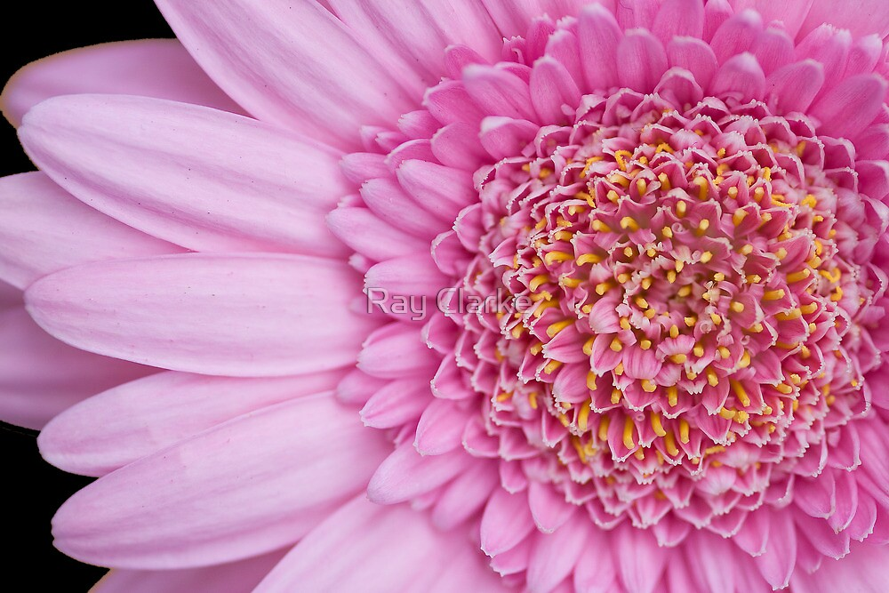 Mostly Pink by Ray Clarke