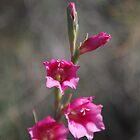 Wilde Gladiole von lezvee