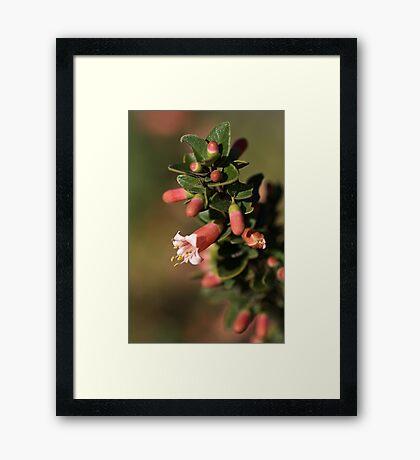 Australian Fuchsia Framed Print