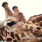 Giraffe Eating at Colchester Zoo by MichelleRees