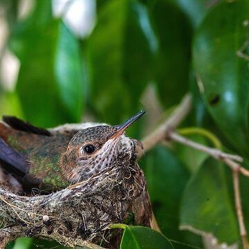 Baby Hummingbird by jongasphoto